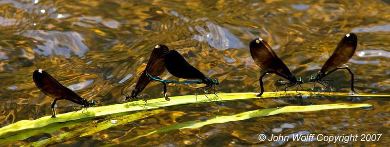 Jewelwing Damselflys