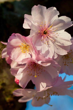 Spring Blossoms 2010