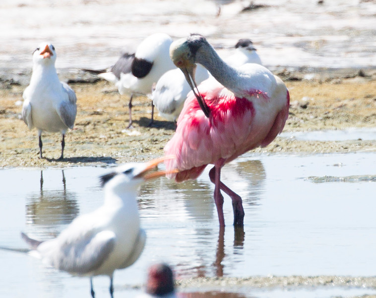 A Roseatte Spoonbill grooms in a pond at the beach.