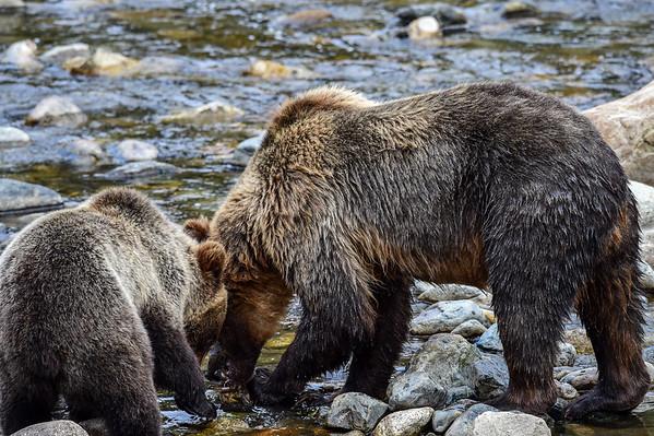 9-16-15 Bella Coola Mom & Cub River Rd.
