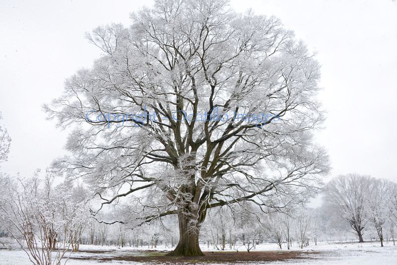 Arboretum Winter 2016 Grandfather Tree.jpg