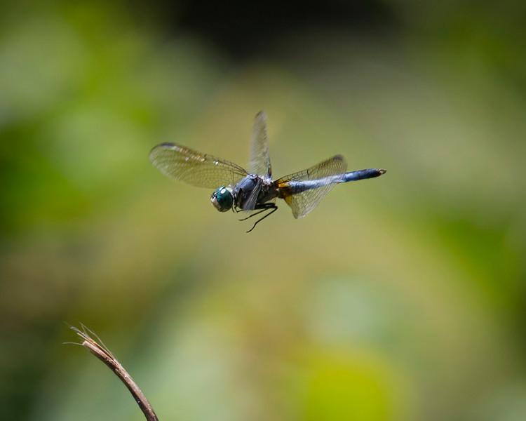 Dragonfly-0906.JPG