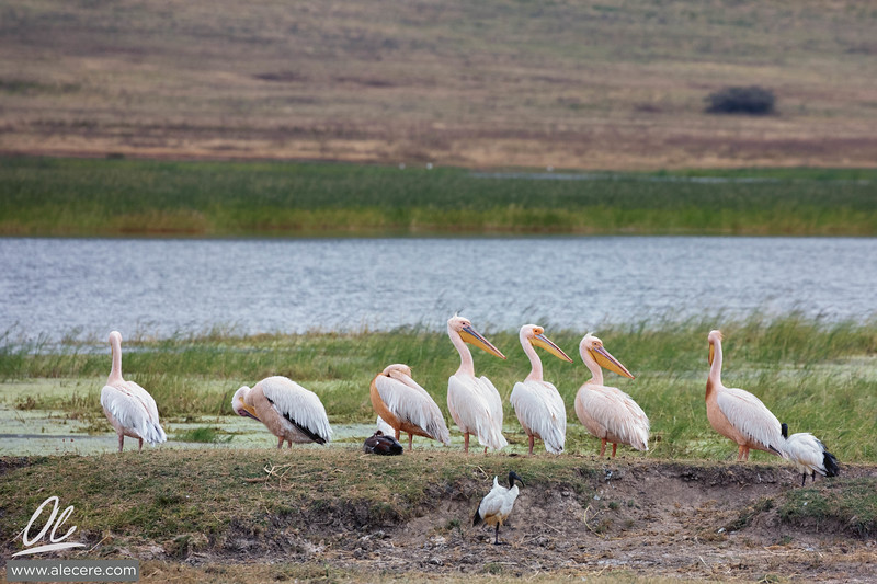 Pod of great white pelicans