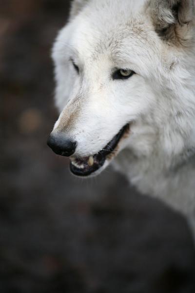 Lakota Wolfs 13