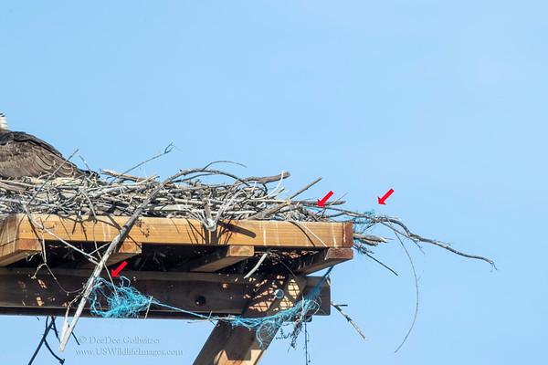 New Osprey Nest with Monofilament