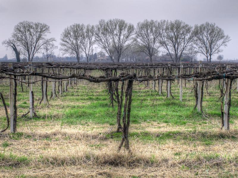 Vineyard - Bagno, Reggio Emilia, Italy - April 20, 2012