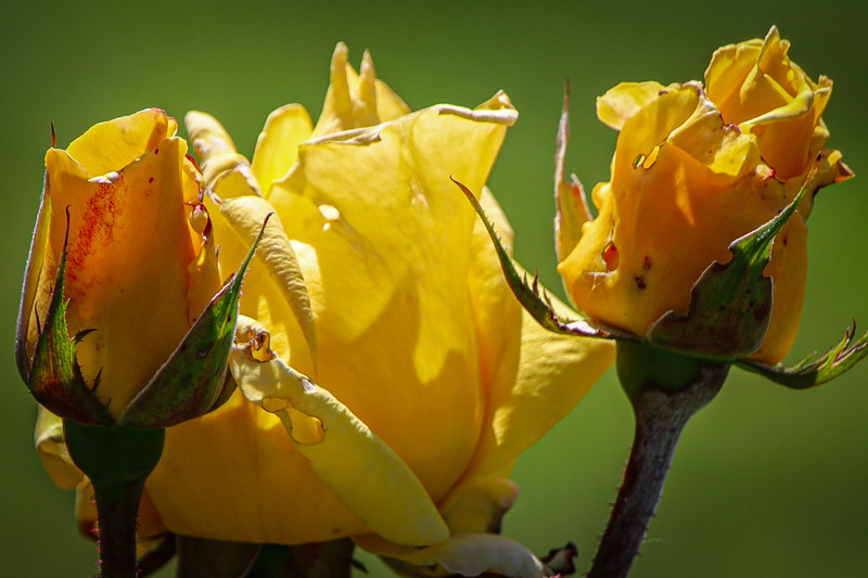May 20 - Stages of blooming roses deep into springtime.jpg