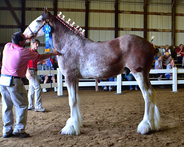 576 Jr Champion.Reserve Clydesdale