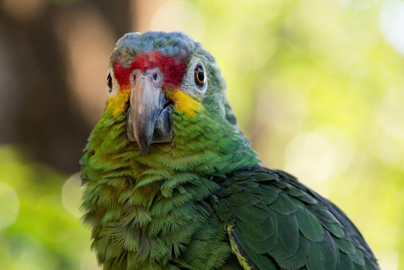 Great Green Macaw, Suchitoto, El Salvador