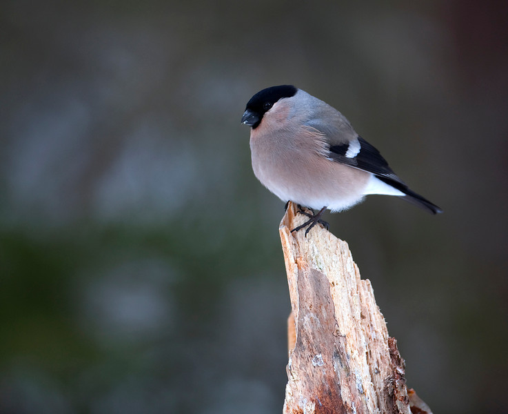 Bullfinch female 1.jpg