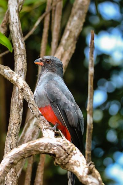 Red chest bird