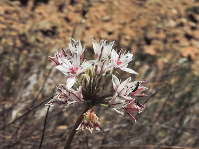 Red-skinned Onion (Allium haematochiton)