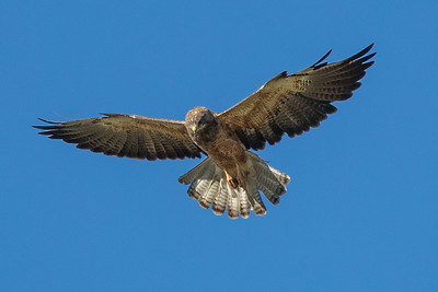 Hawks and Falcons (Hayden Valley)