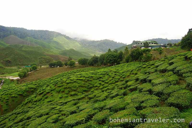 Cameron Valley Tea fields [Bharat] (3).jpg