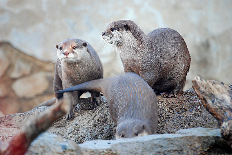 Otters, at the zoo too!