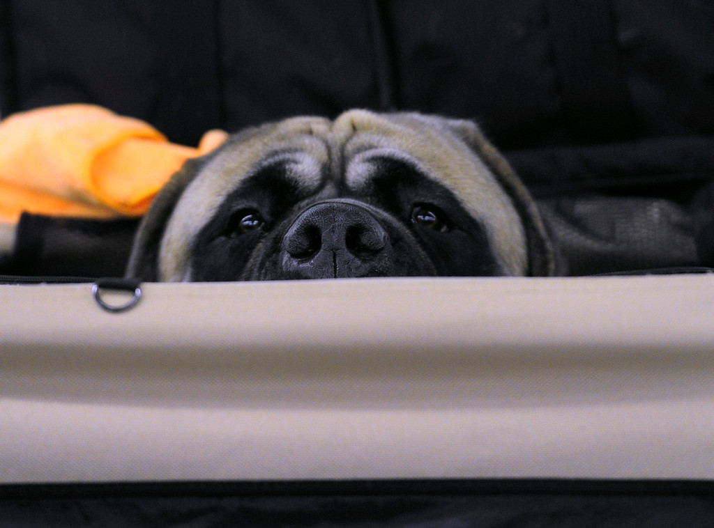 """. DENVER, CO. - FEBRUARY 15: \""""Leo\"""" a mastiff from Salida peers out from his dog house. The 18th annual Rocky Mountain Cluster Dog Show begins at the National Western Complex with over 150 different breeds showing. The dogs can be seen in conformation, obedience, and agility competitions which has dogs running through tunnels, and leaping over jumps. The show runs through Feb. 18 and is open to the public. (Photo By Kathryn Scott Osler/The Denver Post)"""