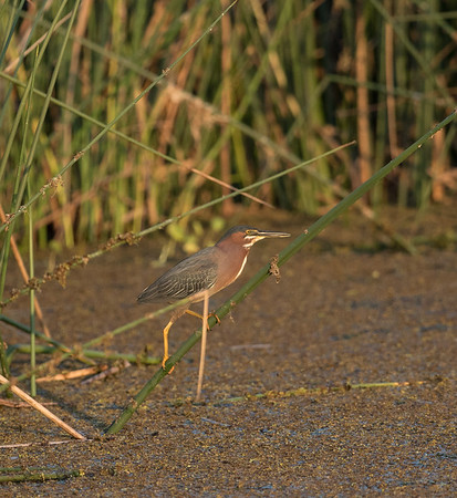 Green Heron Reed Walk