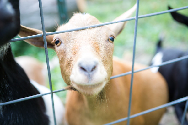 07/07/16 - Goats
