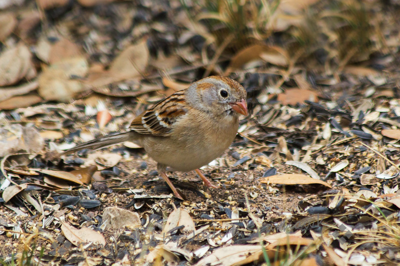 Field Sparrow ~ Photographed in central Texas.