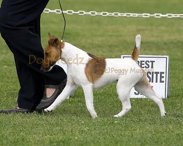 RHKC 2011 - Fox Terriers Smooth
