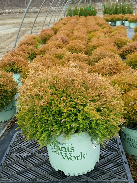 Thuja occidentalis 'Fire Chief' .jpg