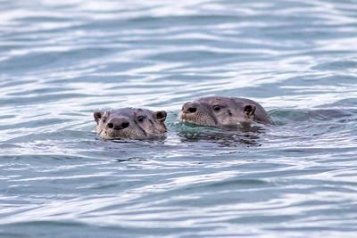 Sealions  Seals Otters & Beavers