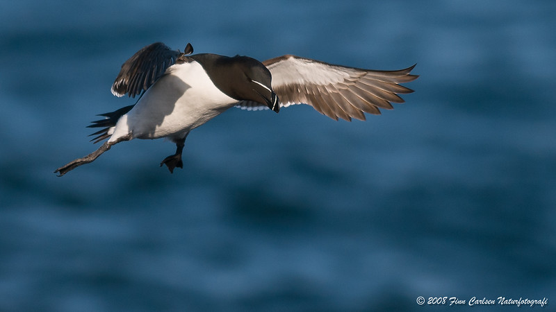 Alk (Alca torda - Razorbill) og/and Lomvie (Uria aalge - Common murre)