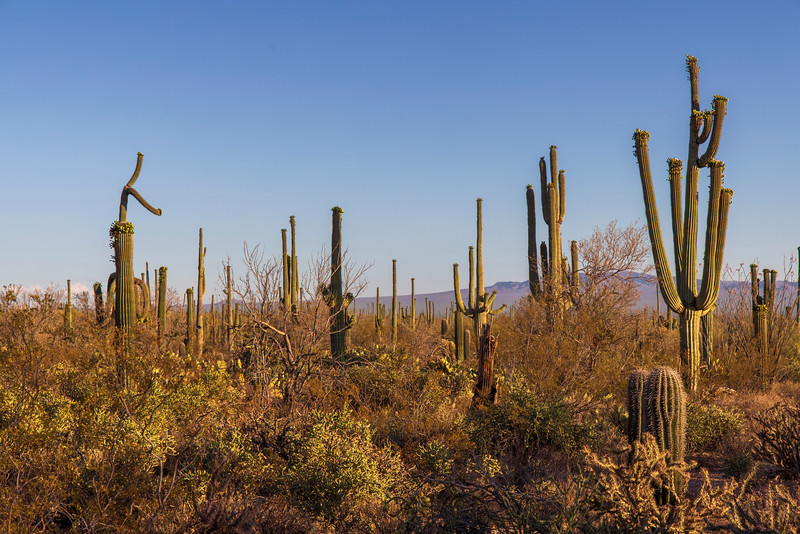 A Cactus Forest Provides No Cover
