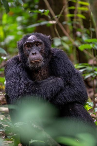 Uganda_T_Chimps-42.jpg