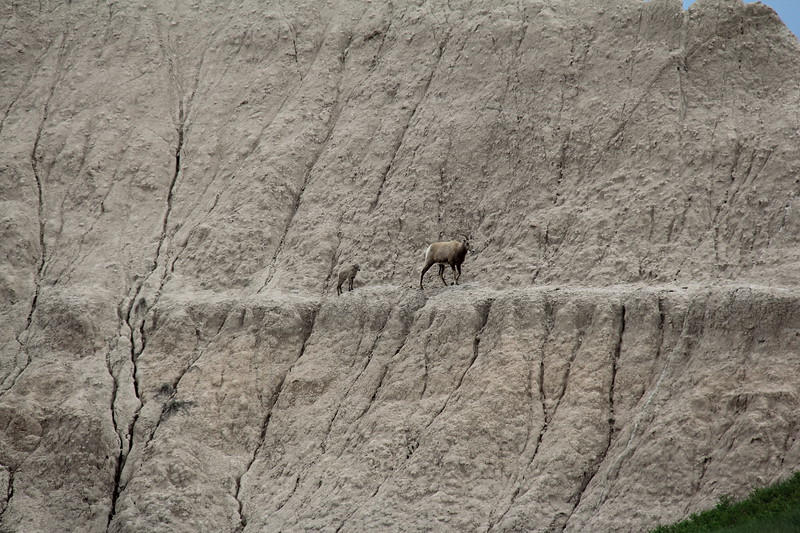 20140523-146-BadlandsNP-MountainGoats.JPG