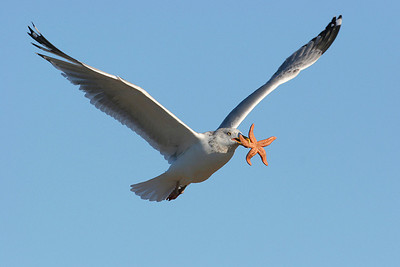 Gulls, Terns and other Seabirds