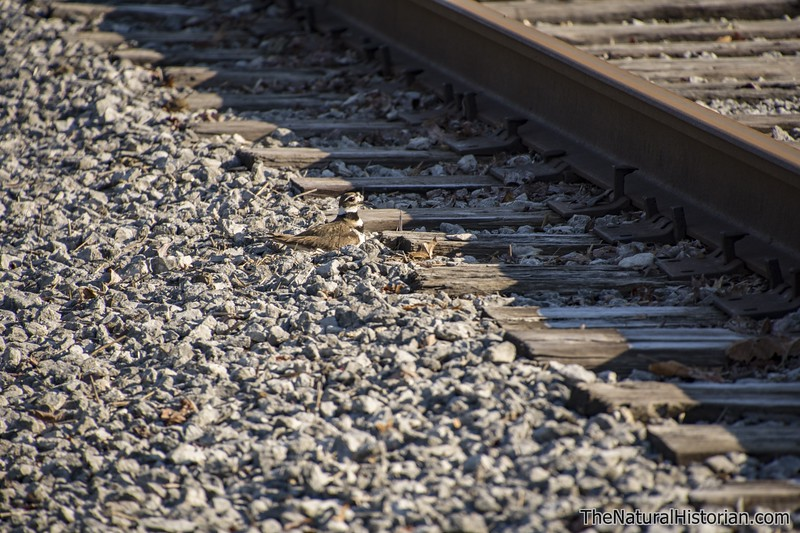 Killdeer-sitting-on-nest-railroad-tracks-Canton.jpg