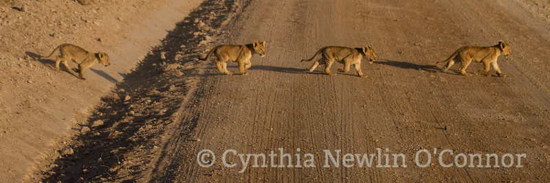 Cat Fight and More - 2 - Cubs Crossing _5928.jpg