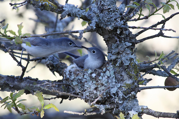 Gnatcatchers (polioptilidae)