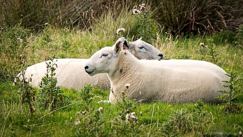 Contented sheep on the Isle of Kerrera, Scotland.