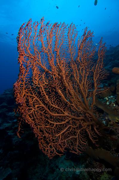 Nusa Laut Coral © Chris Mitchell