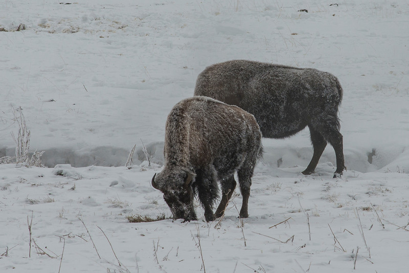 Bison eating -- trying to get some more storage for the long winter.