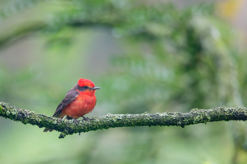 Vermilion Flycatcher - Lomas de Lachay, Peru