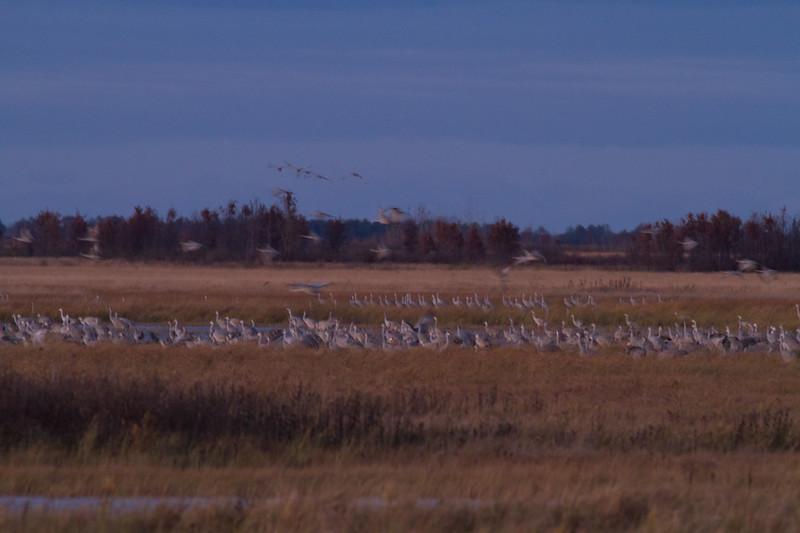 Sandhill Crane flock roosting at dusk Crex Meadows Grantsburg WI IMG_2295.jpg