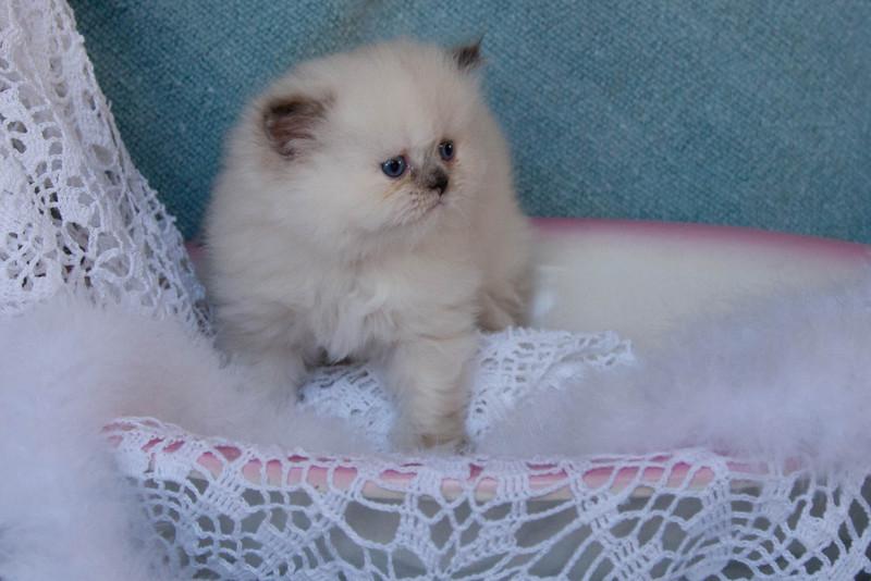 Himi_Kittens_Nov30-7975.jpg