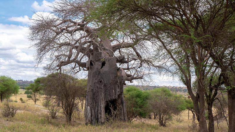Tanzania-Tarangire-National-Park-Safari-Baobao-Tree-01.jpg