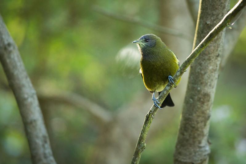 Bellbird with pollen at Dunedin Botanical Garden