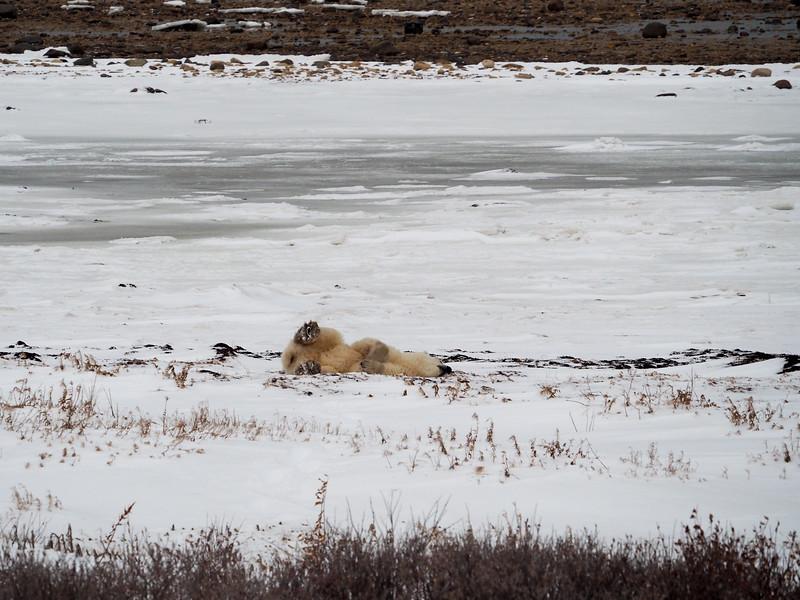 Rolling polar bear