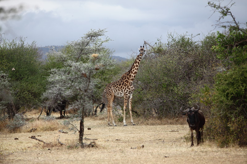 Giraffe and Wildebeast.JPG