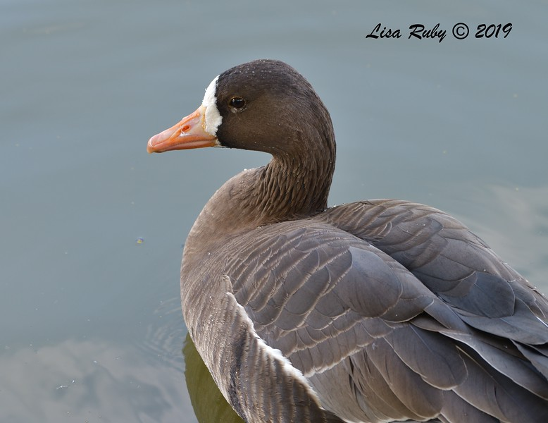 Greater White-fronted Goose  - 12/01/2019 - Lindo Lake