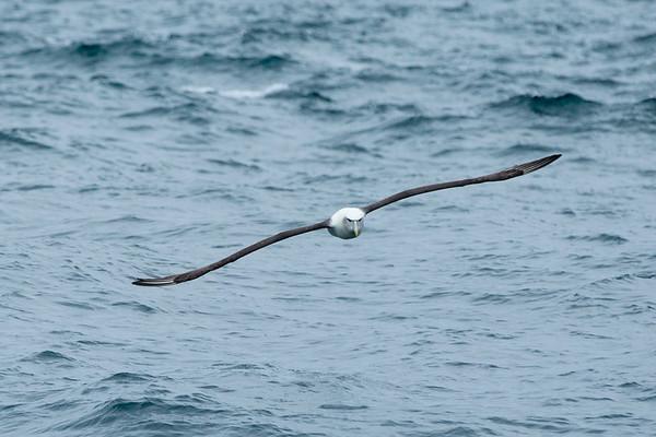 20170406 Albatrosses at Stewart Island _JM_3749 a.jpg