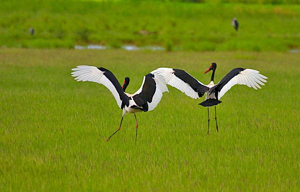 Saddle-billed stork, Ephippiorhynchus senegalensis
