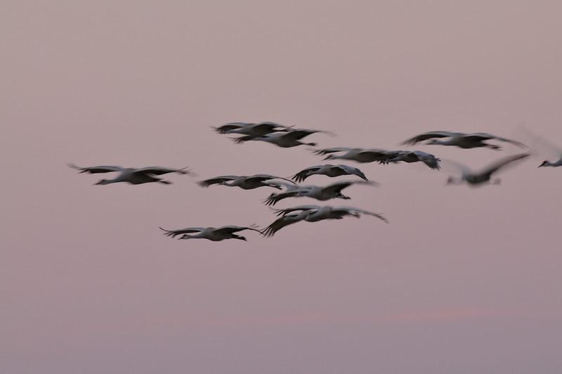 Sandhill cranes taken with a slow shutter speed.  Bosque del Apache, New Mexico