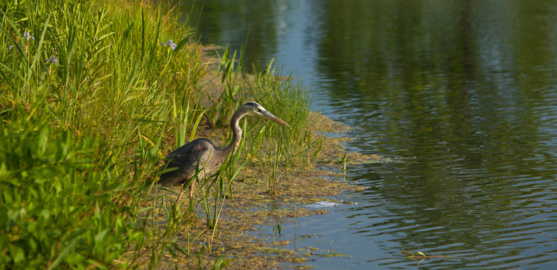 Great Blue Heron at the Chicago Botanic Garden 2