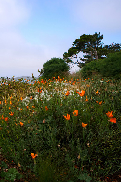 Back Bay Poppies